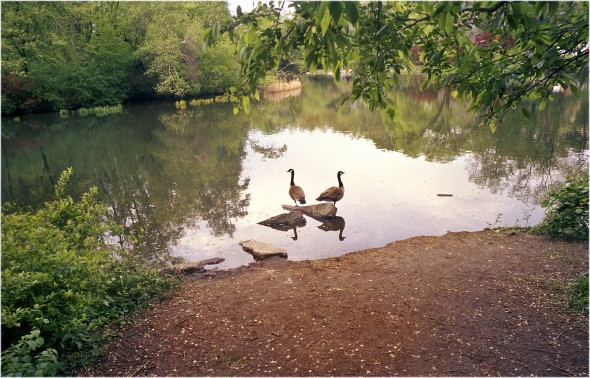 Central Park Geese